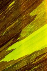 Variegated banana leaf for background