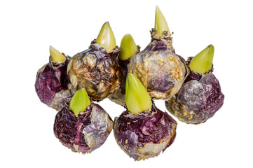 Group of Hyacinth bulbs isolated on white
