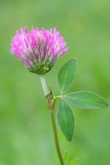 flower of Trifolium