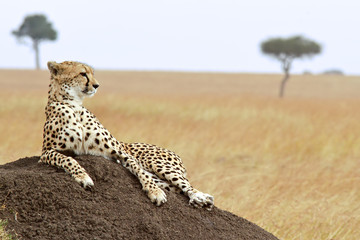 Cheetah on the Masai Mara in Kenya, Africa.