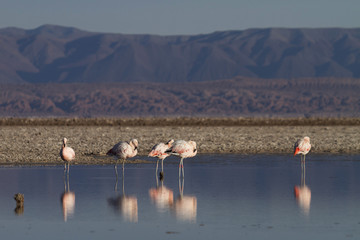 flamingos reflected in the Lake (Andes in Chile)