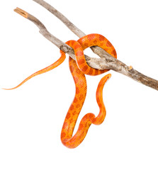 Creamsicle Corn Snake (Elaphe guttata guttata) on a dry branch.