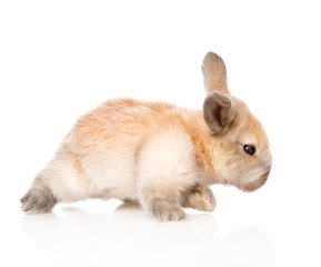 newborn rabbit walking. isolated on white background