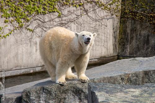 Aluminium Ijsbeer Eisbär