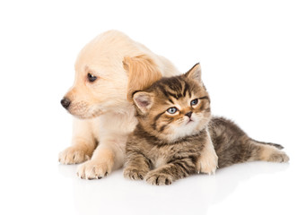 golden retriever puppy dog hugging british cat. isolated on whit