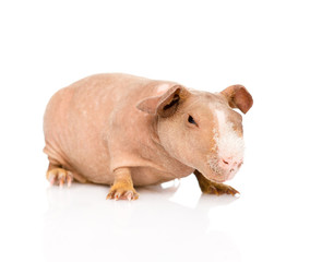 skinny guinea pig lying in front. isolated on white background