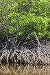 Mangrove trees along the turquoise green water