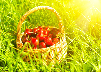 juicy ripe cherries in a basket on the green grass