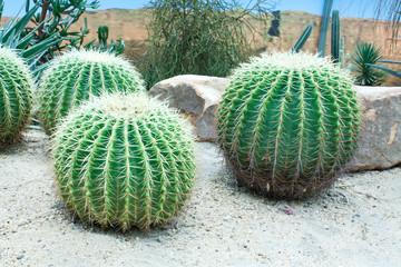 Golden Barrel Cactus Garden