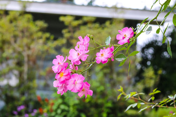 mauve flower (Macspice)
