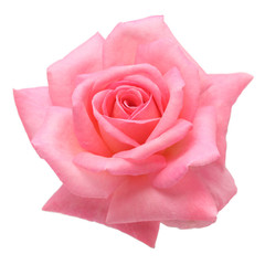 pink rose isolated on white backgroud