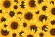 Wild sunflower blossom background - 68347107