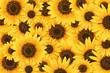 Wild sunflower blossom background