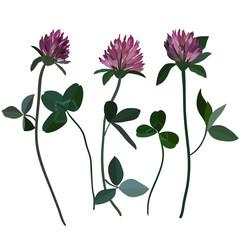 Purple cloveres