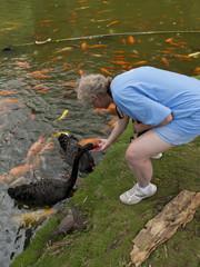 Woman Feeding a swan