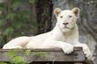 A white lion asleep