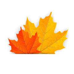 maple leaves - illustration