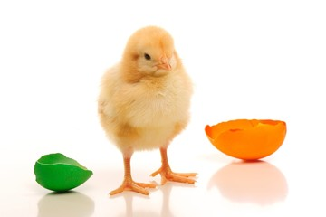 Chick with color broken egg