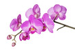 Obrazy na płótnie, fototapety, zdjęcia, fotoobrazy drukowane : Orchid on White