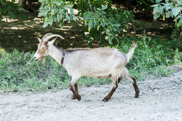Goat goes on road