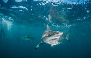 Tiger Shark with blacktip sharks