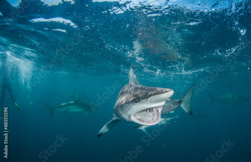 Staande foto Tijger Tiger Shark with blacktip sharks