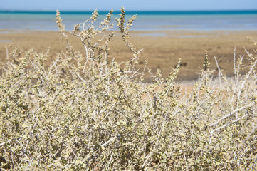 Desert bush on coastal sand dune