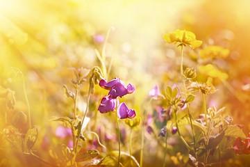 Purple flower between yellow meadow flowers