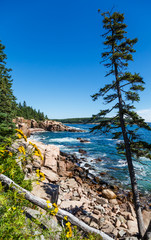 Lone Pine in Acadia Forest