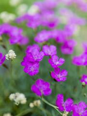 Summer garden - pink perennial flowers in the garden