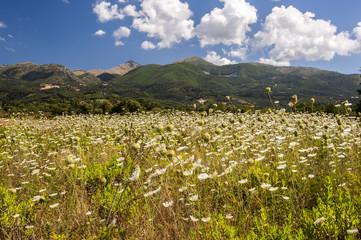 Wild flower filled meadows on Corfu island Greece