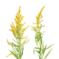 Canada Goldenrod flowers isolated on white background