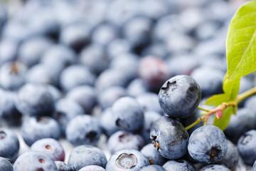Summer fruits - fresh blueberries from garden