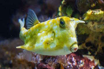 Geel-witte tropische vis