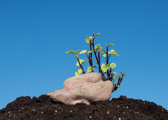 sweet potato germination with blue sky as background