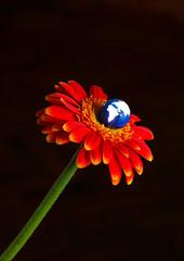 Earth blooming from Gerbera flower