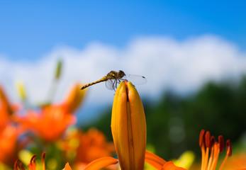トンボと百合の花