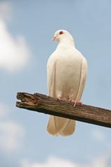 Dove on a perch