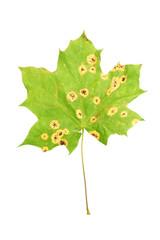 Rhytisma acerinum on maple leaf