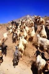 パシュミナ羊