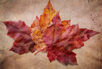 Maple Leaves with vintage texture