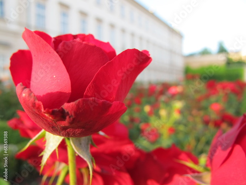 canvas print picture rote rosen