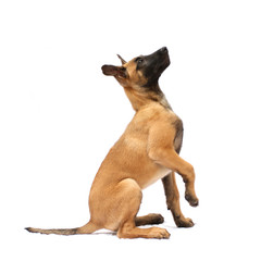 Tier Hund Welpe Malinois sitz Belgischer Schäferhund