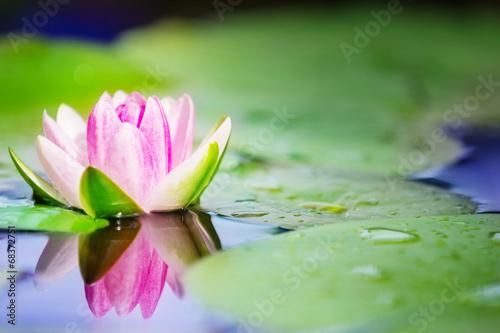 In de dag Water planten Seerose im Gartenteich