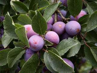 lila plums on fruit tree in an orchard