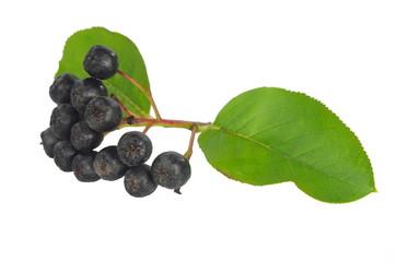 black berry aronia