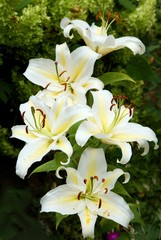 white and yellow flowers of lilies in a garden