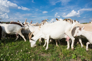 Goats  on a pasture