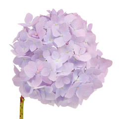 Beautiful Light Purple Hydrangea Flowers on White Background
