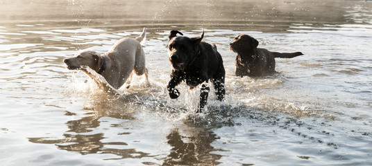 labradors in the water
